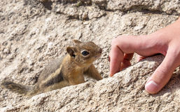Hungry Chipmunk Royalty Free Stock Images