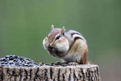 Hungry Chipmunk Royalty Free Stock Photo