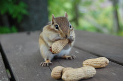 Hungry Chipmunk Royalty Free Stock Photography