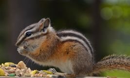 Hungry chipmunk who found a treasure stock images
