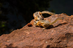 Hungry Chipmunks Fighting Over a Peach Pit Stock Photos
