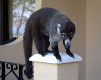 Hungry Coati. A coati looking for food in Costa Rica Royalty Free Stock Photography