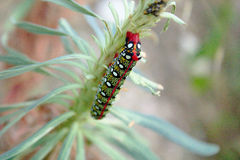 Hungry and colorful caterpillar eating euphorbia. A hungry caterpillar (Hyles euphorbiae)with awesome colors and dots is eating an euphorbia plant. She even has royalty free stock photography
