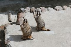 Hungry coons. Two coons asking for feed Royalty Free Stock Photography