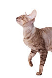 Hungry cornish rex walking into half lenth. Hungry cornish rex cat walking half lenth hunting Royalty Free Stock Photography