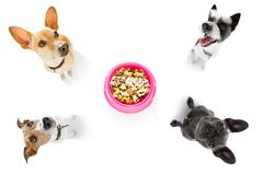 Hungry  couple of dogs with food bowl. Hungry  couple of dogs behind  food  bowl, isolated white  background at home and kitchen looking up  to owner and begging Royalty Free Stock Photography