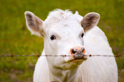Hungry cow in the evening Stock Photography