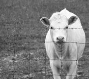 Hungry cow in the evening Royalty Free Stock Images