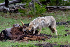 Hungry coyote (2). Hungry coyote enjoyed its lunch in yellowstone national park, 200605 Stock Photos