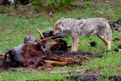 Hungry coyote. Enjoyed its lunch in yellowstone national park, 200605 Stock Image