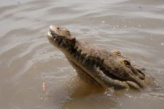 Hungry Croc Stock Images