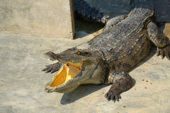 Hungry Crocodile Stock Image