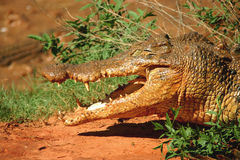 Hungry crocodile. On the Malcolm Douglas ranch. Australia Royalty Free Stock Photography