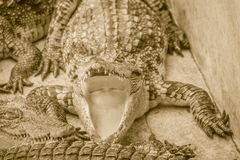Hungry crocodile is open mouth and waiting for food in the breed Stock Images