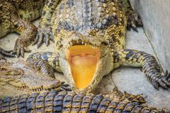 Hungry crocodile is open mouth and waiting for food in the breed Royalty Free Stock Image