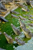 Hungry Crocodiles. At the crocodile farm, Pattaya, Thailand Stock Image