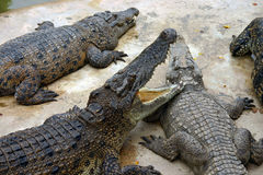 Hungry crocodiles. Photo of danger hungry crocodiles Royalty Free Stock Photos
