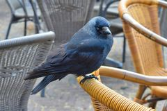 Hungry crow on a chair Stock Photo