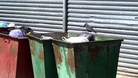 Hungry crow looking for food in garbage cans stock footage