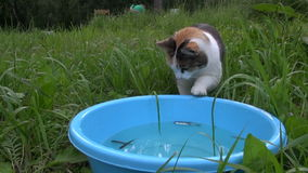 Hungry cute cat catch and eat fish from plastic bowl. Woman fish stock video footage