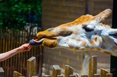Cute giraffe use its tongue to take carrot from people hand in close-up. A hungry Cute giraffe use its tongue to take carrot from people hand in close-up Royalty Free Stock Photography