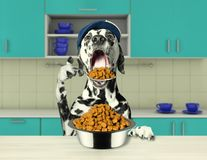 Hungry dalmatian dog going to eat dry food. Hungry dalmatian dog sitting at the table and going to eat dry food stock photo