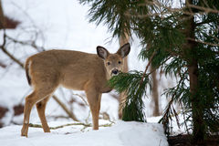 Hungry deer Royalty Free Stock Image