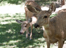 Hungry deer Stock Images