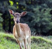 Hungry deer hind Royalty Free Stock Image