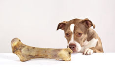 Hungry dog. A dog is looking at a bone stock images