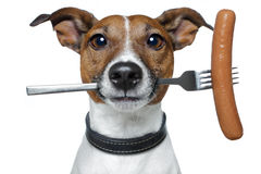 Hungry dog. With a sausage on the fork royalty free stock photography