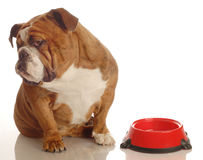 Hungry dog. English bulldog turning her nose up to an empty food dish - hungry dog stock photography