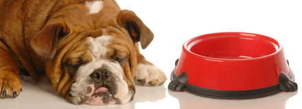Hungry dog Royalty Free Stock Image