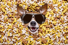 Hungry dog in big food mound. Hungry jack russell dog inside a big mound or cluster of food , isolated on mountain of cookie bone treats as background, wearing stock photography