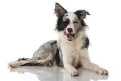 Hungry dog Stock Photography