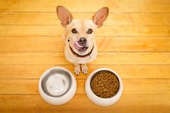 Hungry dog bowl. Hungry chihuahua podenco dog behind food bowl and water bowl, isolated wood background at home and kitchen royalty free stock images