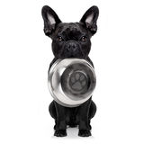 Hungry dog with bowl. Hungry french bulldog dog holding bowl with mouth ,isolated on white background stock photos