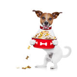 Hungry dog  bowl. Hungry  jack russell  dog holding food bowl and licking with tongue,  on white background Stock Image