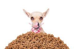Hungry dog. Hungry chihuahua dog behind a big mound or cluster of food , isolated on white background royalty free stock photography