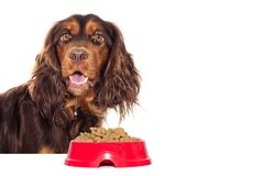 Hungry dog and dry food Royalty Free Stock Photo