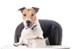 Hungry dog eating dry food from bowl licking with tongue Stock Photo