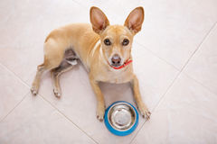Hungry dog with food bowl Stock Photography