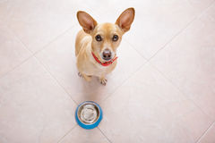 Hungry dog with food bowl Stock Images
