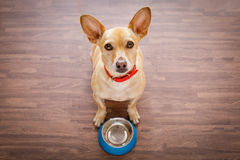 Hungry dog with food bowl. Hungry chihuahua dog behind empty bowl, wood background at home and kitchen looking up to owner and begging for food royalty free stock photography