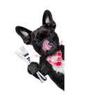 Hungry dog. Hungry french bulldog dog with tableware or utensils ready to eat dinner or lunch , behind white blank banner or placard, tongue sticking out ,  on Royalty Free Stock Images