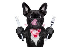Hungry dog. Hungry french bulldog dog with tableware or utensils ready to eat dinner or lunch , tongue sticking out , on white background stock photos
