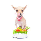 Hungry dog with healthy bowl. Chihuahua dog  with  healthy  vegan food bowl, isolated on white background Stock Photo