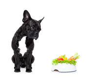 Hungry dog with healthy bowl. French bulldog dog  with  healthy  vegan food bowl, isolated on white background Royalty Free Stock Image