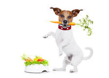 Hungry dog with healthy bowl. Jack russell dog  with  healthy  vegan food bowl, isolated on white background, while standing Stock Photo