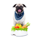 Hungry dog with healthy bowl. Pug dog  with  healthy  vegan food bowl, isolated on white background Stock Image